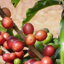 パプアニューギニア シグリ