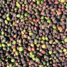 ペルー ティアラ(オーガニック豆100%)
