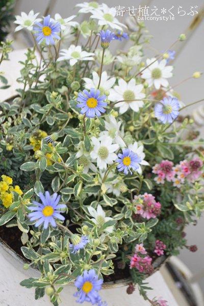 小輪多花性フランネルフラワー『天使のウィンク』