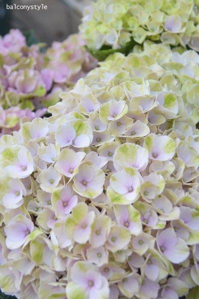 秋色紫陽花ハイドレンジアパープルスプレンダー