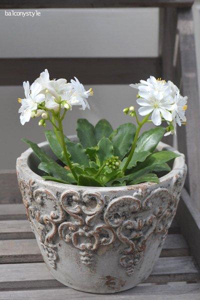 多肉質の葉に可憐な花のレウィシア
