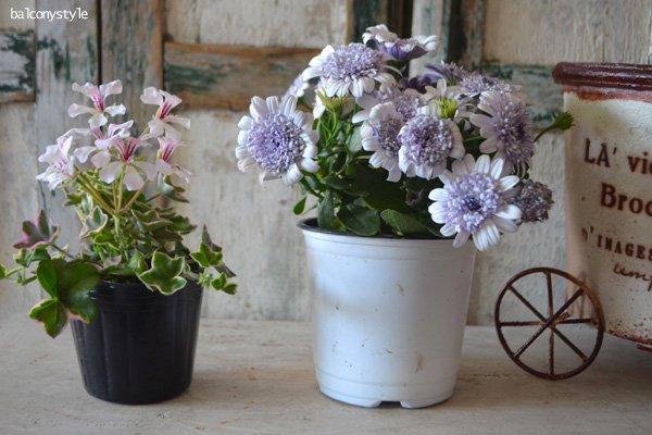 豪華な八重咲オステオスペルマムダブルシルバー