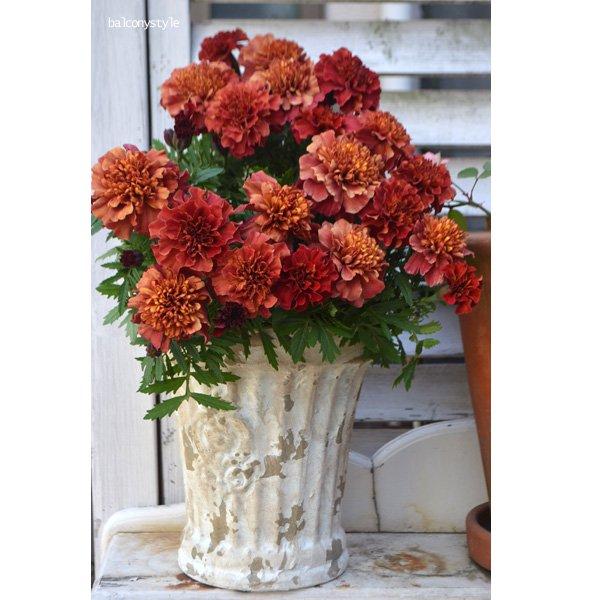 多彩な花色になるマリー「ストロベリーブロンド」
