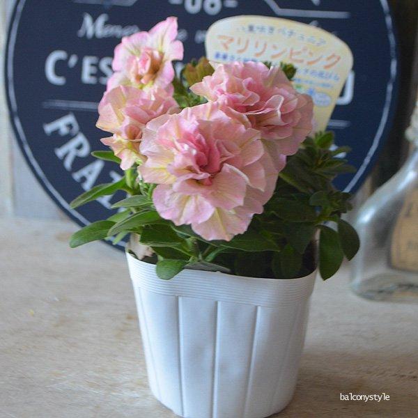 八重咲きペチュニマリリンピンク