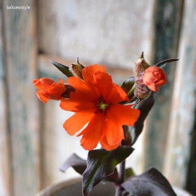 リクニスオレンジドワーフ