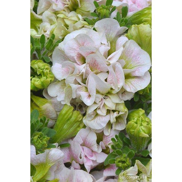 八重咲きペチュニアフェアリーブーケ