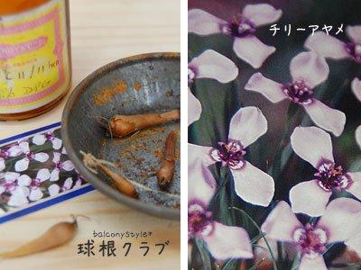 チリーアヤメの花と球根