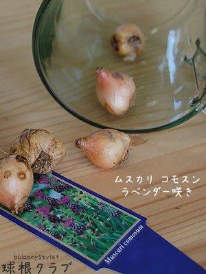 ムスカリラベンダー咲き花