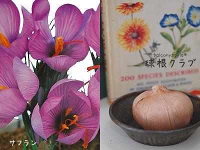 サフランの花と卓上栽培