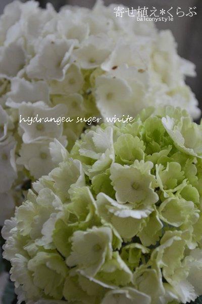 夏の寄せ植えあじさいシュガーホワイト+オリーブドボヌール トールスクエア