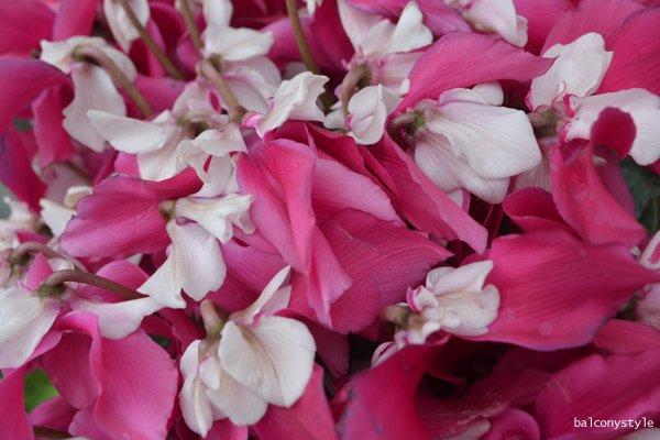 バラ咲きシクラメンローゼスとグラスファイバー鉢のセット