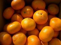 紀州の甘い 木熟みかん 家庭用上 10キロ  予約開始