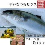 平戸なつ香ヒラス 4kg (長崎県平戸沖養殖)送料無料