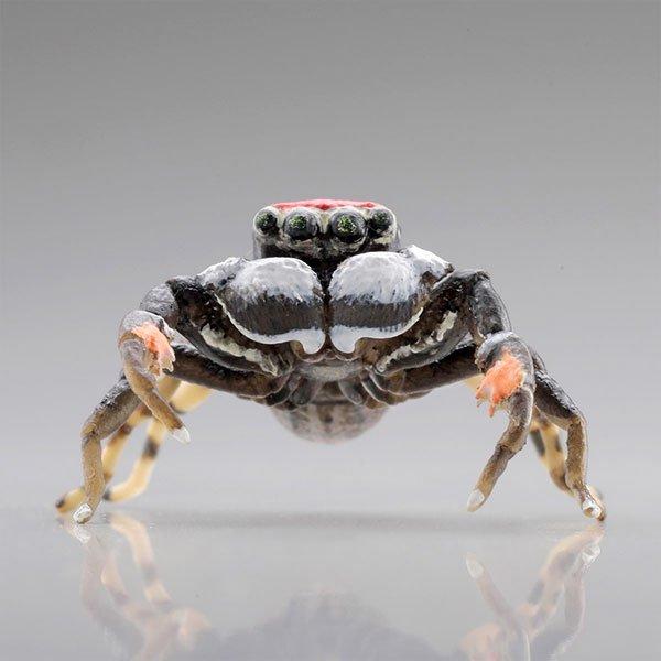 海洋堂 カプセルQミュージアム 日本の蜘蛛ストラップコレクション クモコレ! ヨダンハエトリ KG00563 3枚目