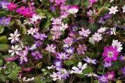 雪割草 標準花5ポットセット (ゆきわりそう ひょうじゅんか5ぽっとせっと)