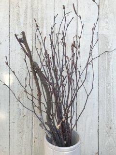 白樺枝先(40〜50cm)