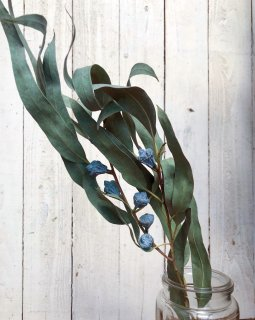 ユーカリ グロボラス 葉つき