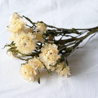 ヘリクリサム(ナチュラル)白