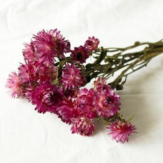 ヘリクリサム(ナチュラル) ピンク