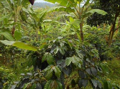 COLOMBIA HUILA / EL PALMAR CASTILLO WASHED MediumRoast(コロンビア ウィラ地区 / エル・パルマル農園 カスティージョ種 ウォッシュド) 250g