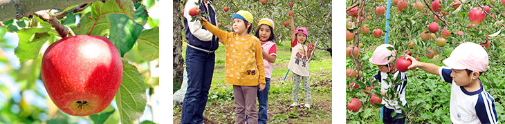 Taste the Difference! We have varieties of apple trees in our Orchard. Easy Fruits Picking for Children! We have lower trees in our orchard.