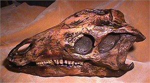 カンプトサウルス 恐竜 頭骨 レプリカ - 頭骨・骨格標本・剥製販売 ...