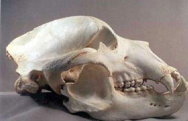 コディアックヒグマの画像 p1_7