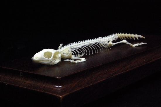 爬虫類の骨格 動物骨格模型 -