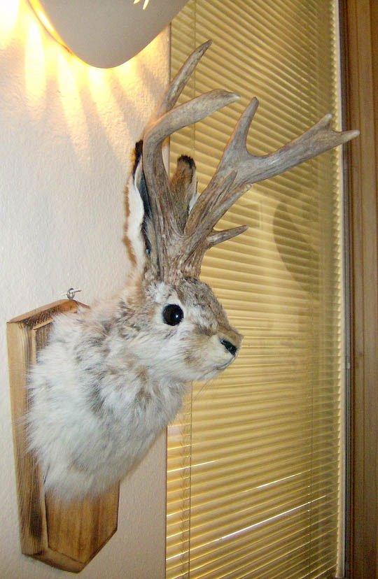 未確認動物(UMA)ジャッカロープの剥製です。 ショルダーマウントの壁... UMA ジャッカロ