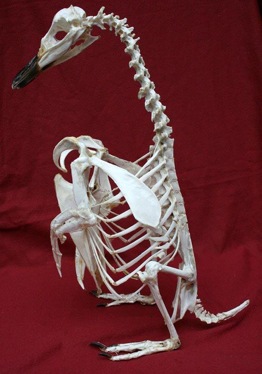 マゼランペンギンの骨格標本 No.2