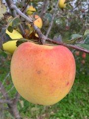 2020年産 青森県産農薬不使用りんご『群馬名月』【約2kg6〜8個入】 11月中旬〜ご発送予定でございます。を産地直送で通信販売