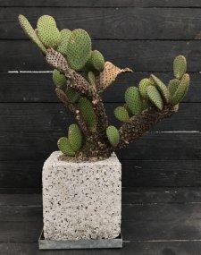 Opuntia microdasys var.rubra オプンティア 赤鳥帽子