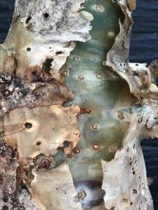 Jatropha podagrica:サンゴアブラギリ 1