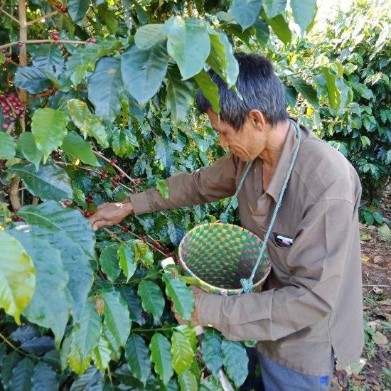 ★無農薬コーヒー生豆★ ラオス SAMURAI ティピカ 1kg