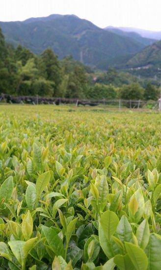<img class='new_mark_img1' src='https://img.shop-pro.jp/img/new/icons14.gif' style='border:none;display:inline;margin:0px;padding:0px;width:auto;' />◆農薬不使用◆静岡県川根本町産紅茶 Futuro(フトゥーロ)18パック(2.5g×18パック)*会員価格設定アリ