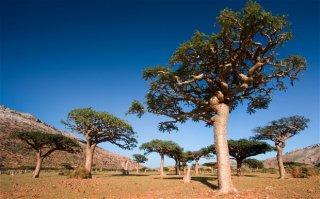 ボスウェリア・サクラ(フランキンセンスの木)の種