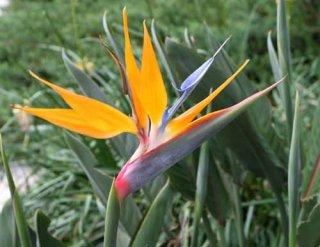 ストレリチア・レギナエ(ゴクラクチョウカ、極楽鳥花)の種