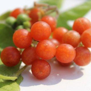 オトリコリオレンジベリーの種