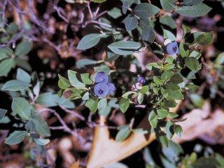 カナディアンブルーベリーの種