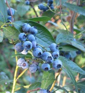 ハイブッシュブルーベリーの種