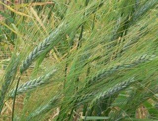 Red Emmer(フタツブコムギ)の種 *籾殻付き