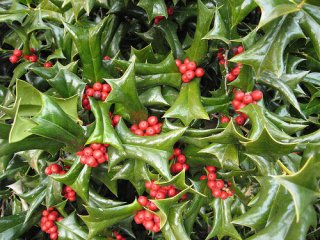 チャイニーズホーリー(クリスマスホーリー)の種