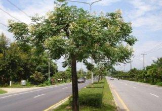 インディアンコークツリーの種