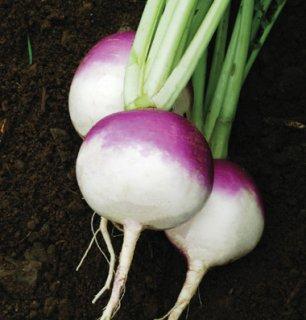 パープルトップホワイトグローブ(カブ、ターニップ)の種