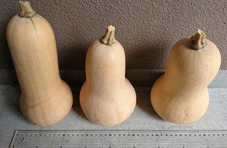【出荷中】バターナッツかぼちゃ(販売期間: 8月上旬〜10中旬)