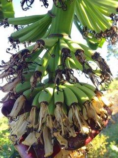 モンキーフィンガーバナナの種