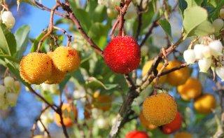 イチゴノキ(ストロベリツリー)の種