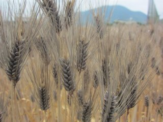 はだか麦(ダイシモチ、大麦)の種: 1kg〜