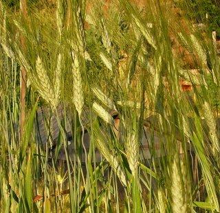 Khorasan Wheat(Kamut、フタツブコムギ)の種 *籾殻無し