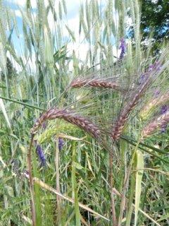 ブラックロシアン大麦の種 *籾殻無し